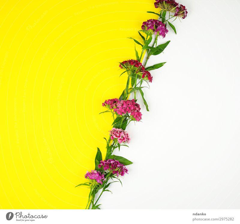 blühende türkische Nelken Dianthus barbatus schön Sommer Dekoration & Verzierung Feste & Feiern Natur Pflanze Blume Blatt Blüte Blumenstrauß Blühend frisch