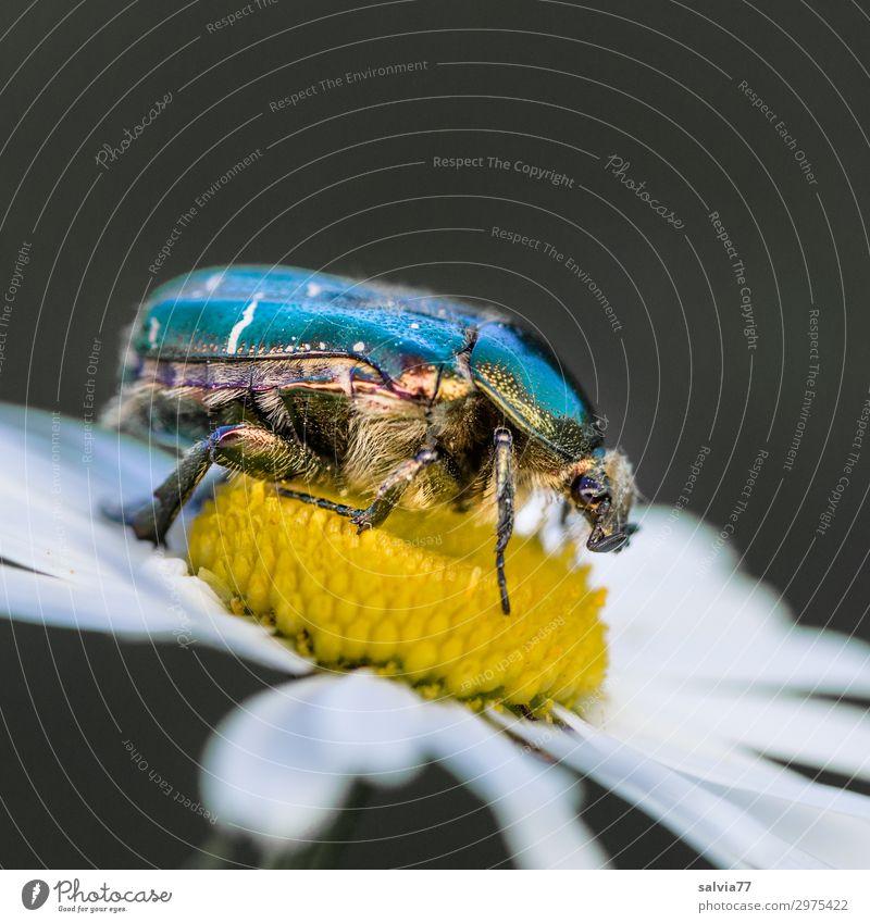 glänzender Rücken Umwelt Natur Frühling Sommer Pflanze Blume Blüte Margerite Garten Wiese Tier Käfer Tiergesicht Insekt Rosenkäfer 1 krabbeln Farbfoto