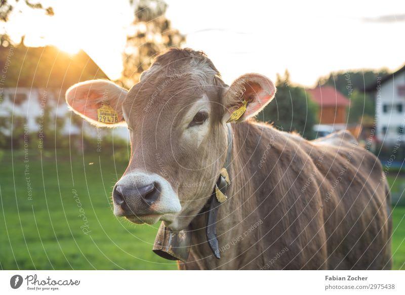 Rind auf dem Weg in die Berge Natur Sonnenaufgang Sonnenuntergang Frühling Schönes Wetter Gras Wiese Nutztier Kuh 1 Tier niedlich braun grün Glück