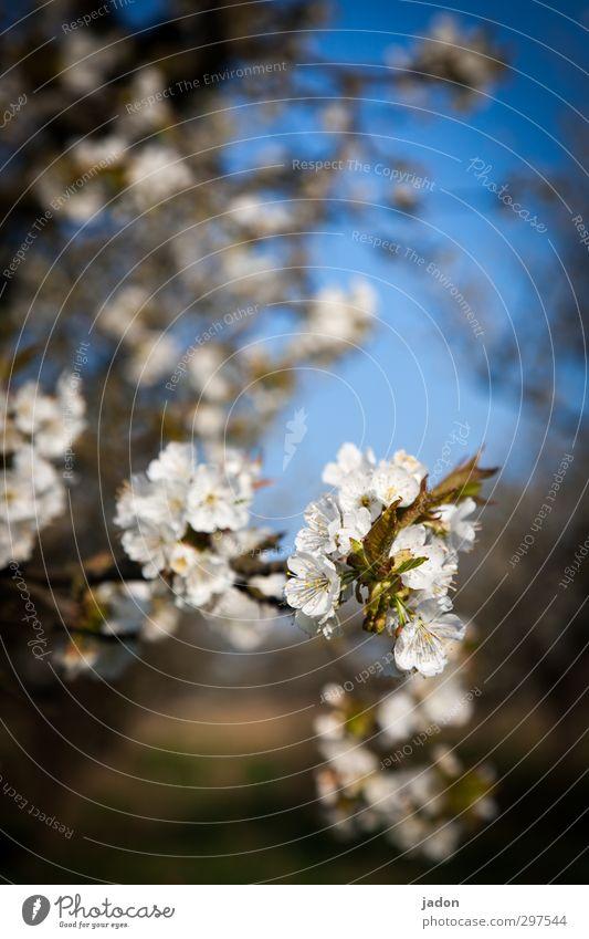 vom baumblütenfest. Natur alt grün schön Pflanze Baum Blatt Frühling Blüte Garten natürlich Wachstum ästhetisch Wandel & Veränderung Lebensfreude Landwirtschaft