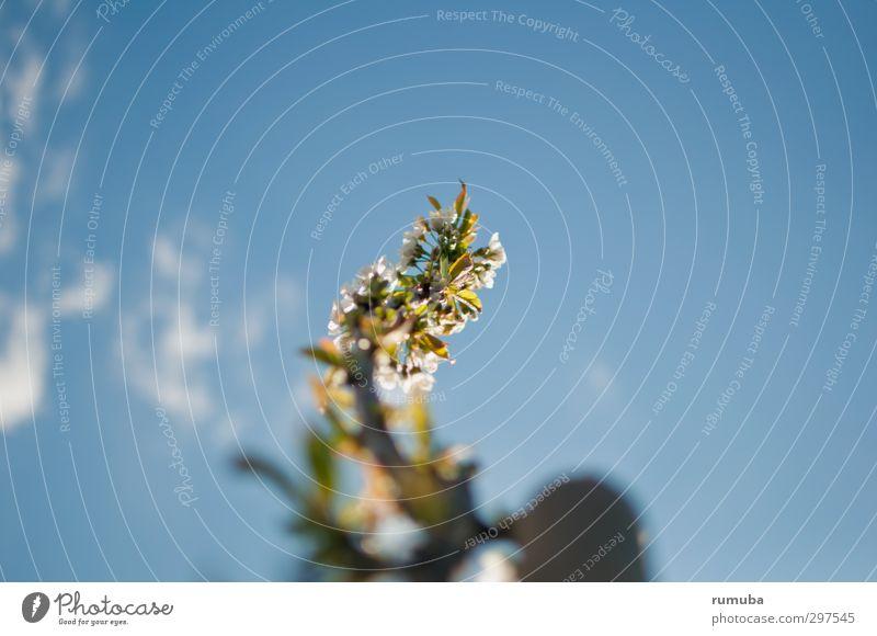 Kirschblüten Natur Himmel Wolken Frühling Schönes Wetter Pflanze Blüte Garten Park Menschenleer Wachstum schön blau weiß Kraft Lebensfreude Kirsche Farbfoto