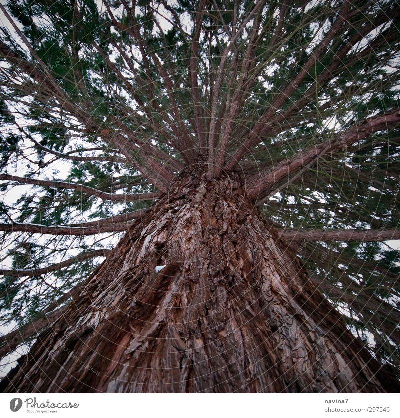 Kiefer Umwelt Natur Winter Baum Park Holz alt Wachstum dick groß oben stark braun grün Kraft standhaft Senior Perspektive Baumstamm Farbfoto Gedeckte Farben