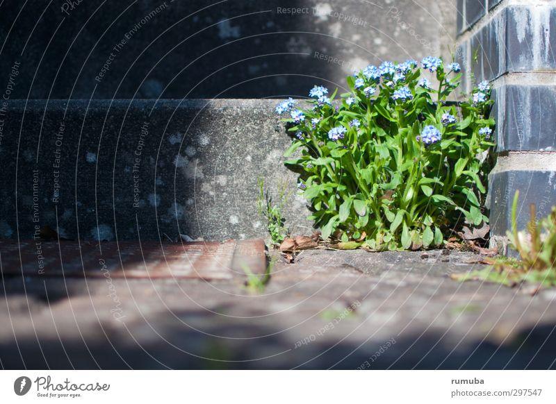 Vergissmeinnicht (Myosotis) Haus Garten Gartenarbeit Natur Pflanze Schönes Wetter Blume Mauer Wand Treppe blau grau grün Willensstärke Mut trotzig Kraft