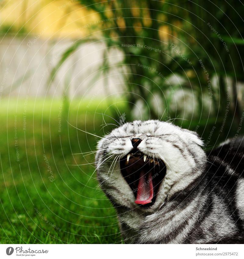 Vampirkater Umwelt Natur Pflanze Tier Gras Sträucher Garten Haustier Katze 1 Fressen füttern schlafen Aggression schön Zunge Fell Tiger Maul Farbfoto