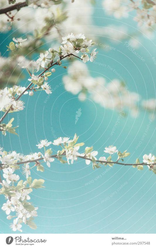 Blütenzweige einer Zierkirsche Natur Pflanze Frühling Schönes Wetter Baum Kirschbaum blau türkis weiß