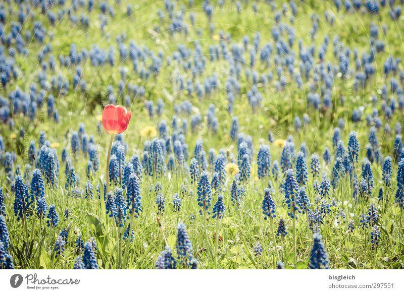 Individualist blau grün Pflanze rot Einsamkeit Blume Wiese einzigartig Lebensfreude Tulpe Hyazinthe