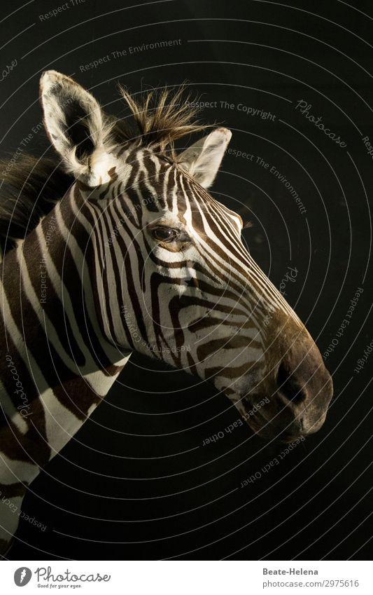 Zebrastreifen Ferien & Urlaub & Reisen Natur schön weiß Tier Ferne schwarz Umwelt Tourismus Haare & Frisuren Linie Wildtier Kraft Ordnung Abenteuer warten