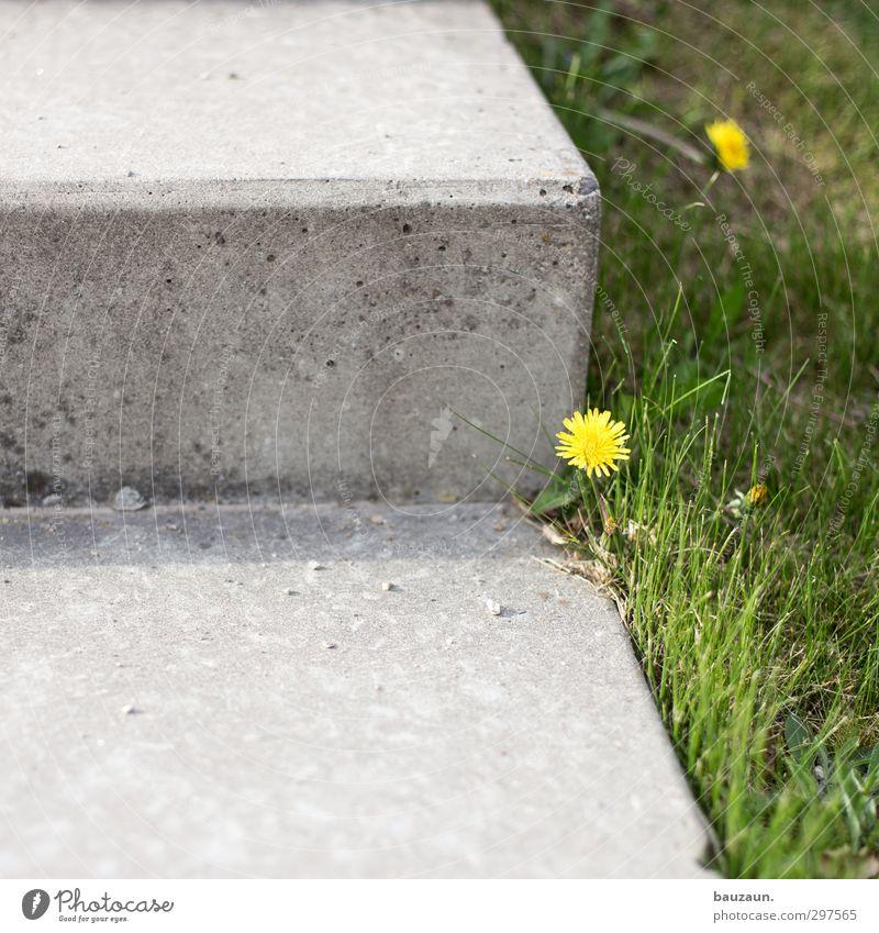 unkraut blüht. Garten Sportstätten Gartenarbeit Natur Erde Frühling Sommer Pflanze Blume Gras Blüte Löwenzahn Park Wiese Treppe Terrasse Wege & Pfade Beton