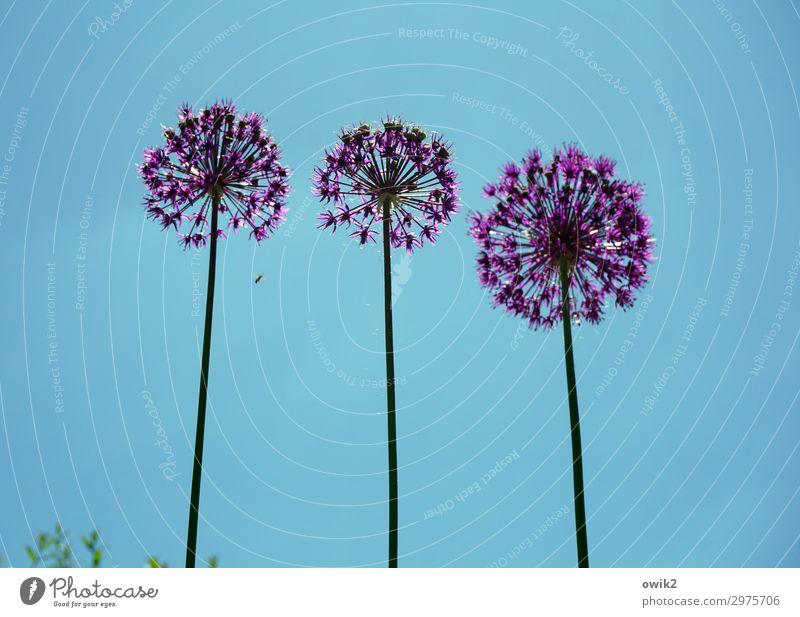 Die Drei von der Tankstelle Umwelt Natur Pflanze Wolkenloser Himmel Frühling Schönes Wetter Blume Blüte exotisch Stengel stehen Wachstum Zusammensein hoch rund