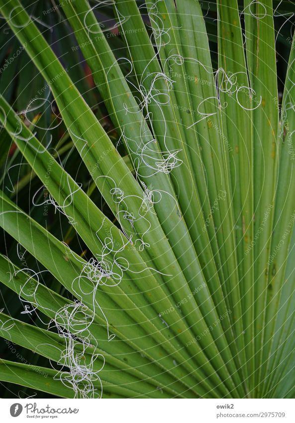 Leinen los Natur Pflanze Blatt Washington-Palme Palmenwedel Faser grün ökologisch Zimmerpflanze exotisch Farbfoto Außenaufnahme Detailaufnahme