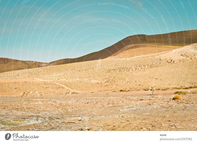 Versteckte Guanako's Umwelt Natur Landschaft Tier Urelemente Sand Himmel Wolkenloser Himmel Horizont Klima Schönes Wetter Wüste Wildtier 4 Tiergruppe Herde