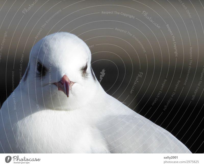 Moin... Tier Wildtier Vogel Tiergesicht Möwe Schnabel 1 beobachten ästhetisch elegant schön maritim Neugier niedlich weiß Feder Tag Sonnenlicht Tierporträt