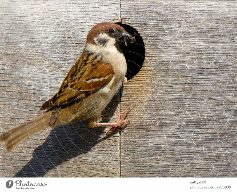 Feldsperling kümmert sich um Nachwuchs... Vogel Tier Wildtier Spatz Nistkasten Brutpflege Futter füttern Holz Aufzucht Insekten Loch Fürsorge braun fressen