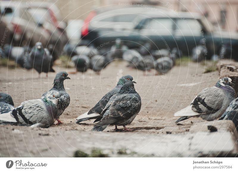Versammlung der Tauben Tier Vogel Tiergesicht Tiergruppe Schwarm grau beobachten PKW Parkplatz Stadt St. Petersburg Russland Winter kalt viele Farbfoto