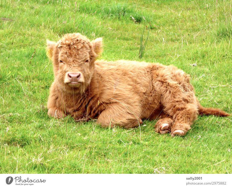 Wer spielt mit mir? Gras Wiese Schottland Tier Nutztier Kuh Kalb Schottisches Hochlandrind 1 Tierjunges beobachten liegen warten blond frech schön Erholung