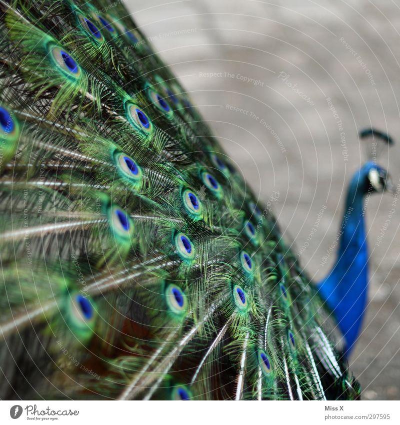 Pfau Tier Vogel Flügel 1 Hochmut Stolz eitel Pfauenfeder Feder Farbfoto Menschenleer Textfreiraum rechts Textfreiraum oben Schwache Tiefenschärfe Tierporträt