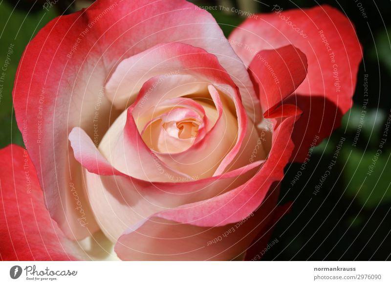 Rosenblüte Pflanze Blume Blüte leuchten Duft schön natürlich rosa rot Liebe Verliebtheit Treue Romantik Blühend Blütenblatt Farbfoto Außenaufnahme Nahaufnahme