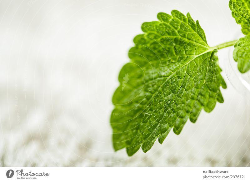 Minze grün schön Pflanze Blatt Umwelt grau Gesundheit natürlich Lebensmittel leuchten frisch Ernährung Frieden Kräuter & Gewürze lecker Duft