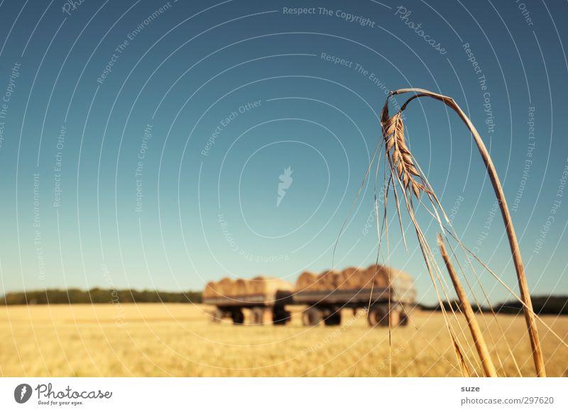 Zusammen abhängen Lebensmittel Getreide Sommer Landwirtschaft Forstwirtschaft Umwelt Natur Landschaft Himmel Horizont Schönes Wetter Wärme Nutzpflanze Feld