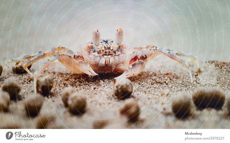 Krabbenparty Umwelt Natur Landschaft Pflanze Tier Sand Sommer Strand Meer Atlantik Wildtier Krebs Krebstier 1 exotisch frei nah maritim braun mehrfarbig grau