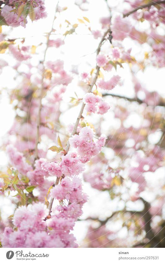 Blühende japanische Kirsche! Natur Pflanze schön Farbe Sommer Erholung Frühling Blüte Gefühle Stil Glück Gesundheit Garten Stimmung hell rosa