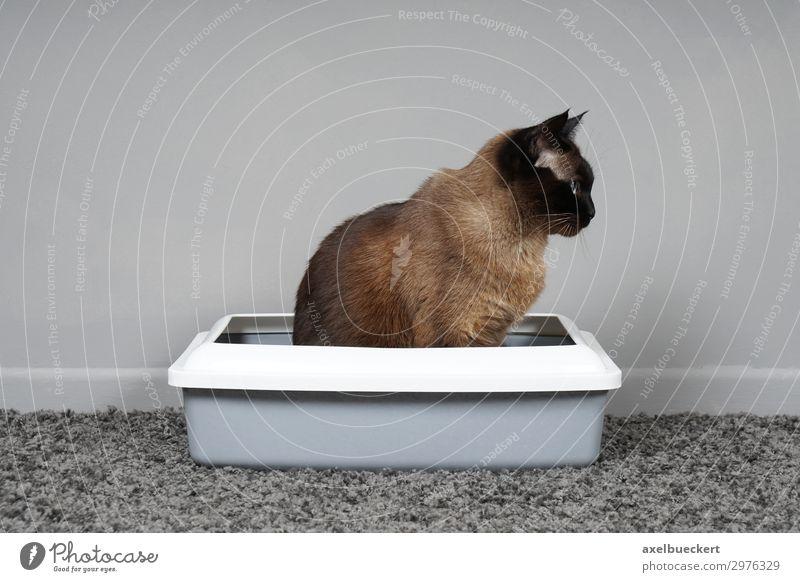 stubenreine Katze sitzt in Katzenklo Tier Haustier 1 sitzen Toilette siamkatze urinieren defäkieren Teppich Raum Reinlichkeit Farbfoto Gedeckte Farben