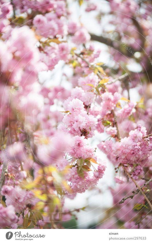 Kirschblüten Natur schön Sommer Pflanze Baum Landschaft Umwelt Frühling Blüte Stil Garten hell Park rosa elegant Fröhlichkeit