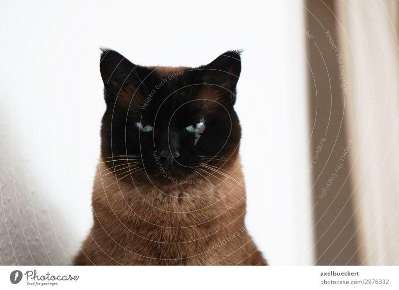 Katze beobachtet Tier Haustier 1 beobachten siamkatze bedrohlich Blick Farbfoto Gedeckte Farben Innenaufnahme Menschenleer Textfreiraum rechts Tag