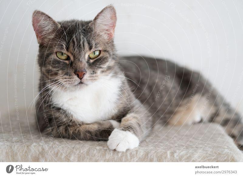 Katze schaut mürrisch Tier Haustier 1 Coolness grau Tigerfellmuster Hauskatze unfreundlich liegen Blick Farbfoto Gedeckte Farben Innenaufnahme Nahaufnahme