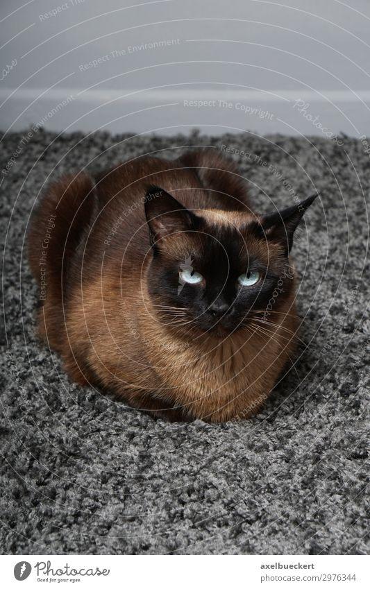 Siamkatze auf Teppich Tier Haustier Katze 1 liegen weich siamkatze rassekatze Häusliches Leben Farbfoto Gedeckte Farben Innenaufnahme Nahaufnahme Menschenleer
