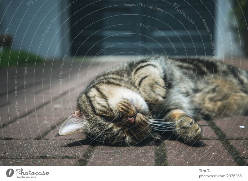 der Kater Tier Haustier Katze Tiergesicht Fell Pfote 1 Wellness Häusliches Leben Zufriedenheit Hauskatze Hof Farbfoto Außenaufnahme Detailaufnahme Menschenleer