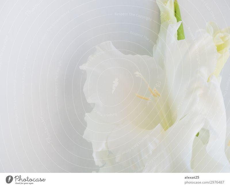 Natur Sommer Pflanze schön grün weiß Blume Blatt Blüte natürlich Textfreiraum frisch elegant Fotografie weich Jahreszeiten