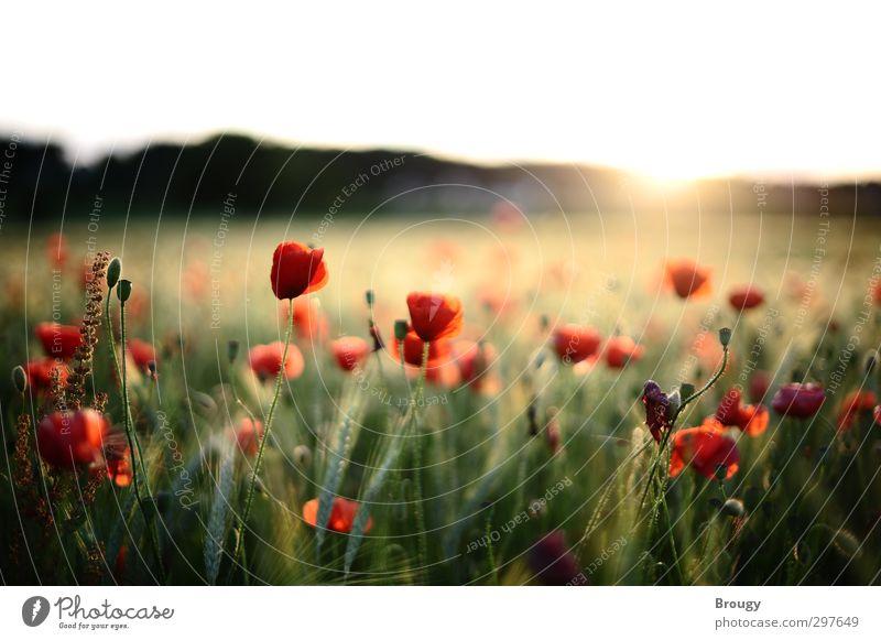 Mohnblumen im Sonnenuntergang Landschaft Pflanze Sonnenaufgang Sonnenlicht Sommer Blüte Grünpflanze Nutzpflanze Wildpflanze Garten Wiese Feld Wärme Glück