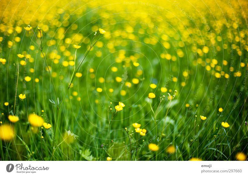 Meer gelbgrün Umwelt Natur Landschaft Pflanze Frühling Blume Gras Grünpflanze Wiese natürlich Sumpf-Dotterblumen Farbfoto Außenaufnahme Menschenleer Tag