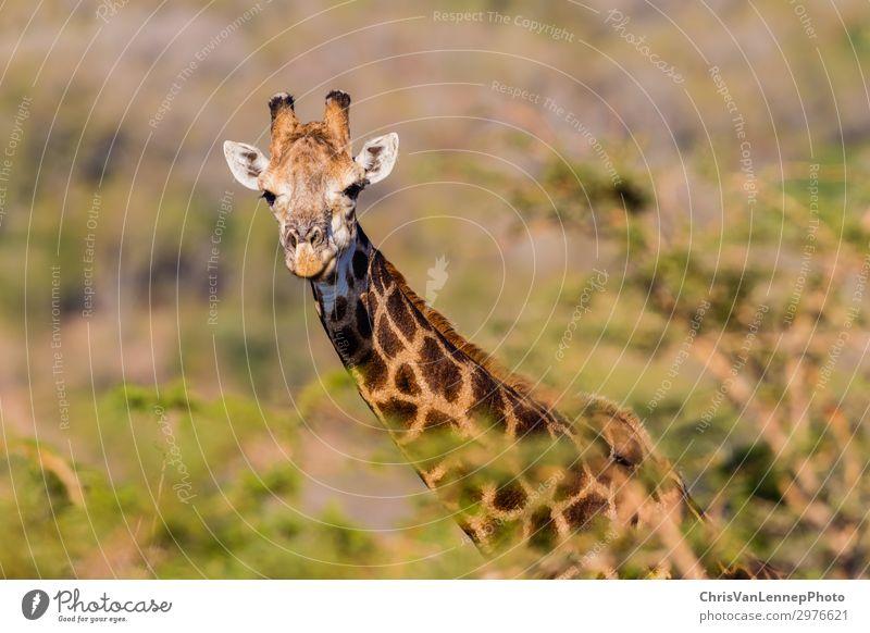 Wildtiere Giraffe Warnbäume Ländliches Reservat Safari Natur Tier Tiergesicht 1 beobachten bedrohlich elegant Abenteuer Farbfoto Nahaufnahme Menschenleer Tag