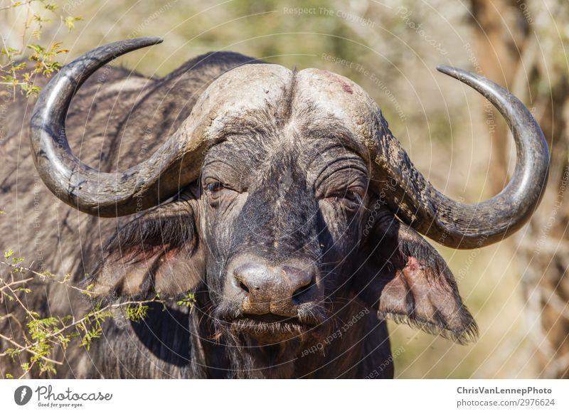 Wildlife Buffalo Tierkopf Hörner Wildtier Tiergesicht 1 beobachten Jagd Blick Aggression bedrohlich nah wild braun grau schwarz Kraft Macht Abenteuer Ärger