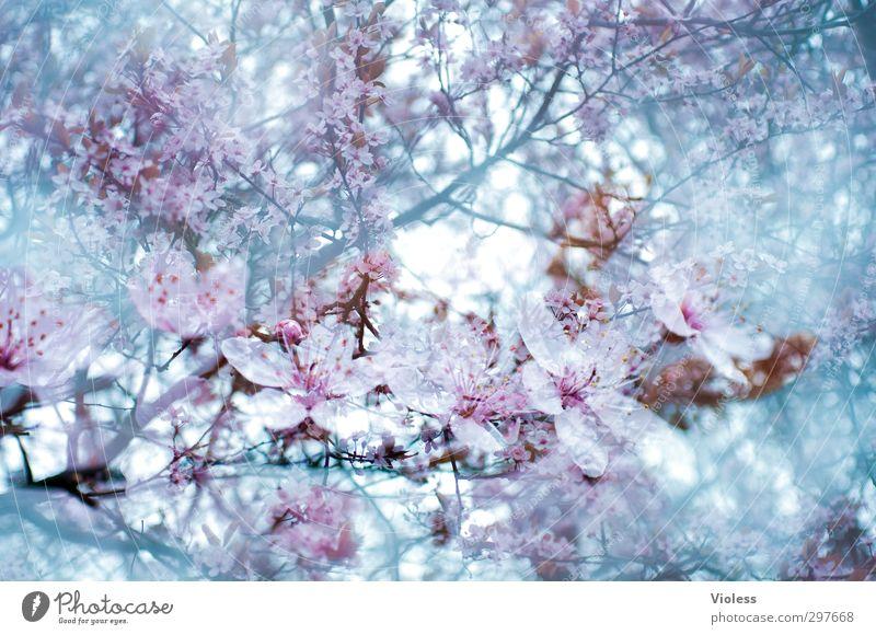 Frühlingserwachen Natur Pflanze Baum Blüte Blühend Doppelbelichtung Zierkirsche