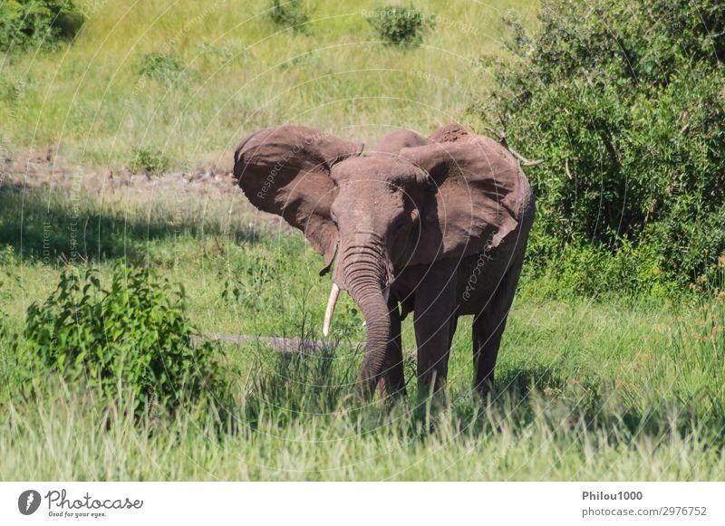 Ein alter Elefant in der Savanne Spielen Ferien & Urlaub & Reisen Safari Natur Tier Park groß Afrika Kenia Samburu Afrikanisch Schlacht Verhalten kämpfen