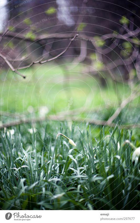 BOGA Natur grün Pflanze Blume Umwelt Gras natürlich Wassertropfen Blütenknospen Grünpflanze Narzissen