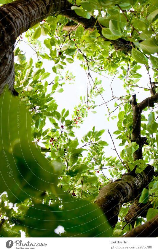 Fast reife Kirschen Ast Baum Blume Blühend Blüte Erholung Ferien & Urlaub & Reisen Garten Himmel Himmel (Jenseits) Schrebergarten Kleingartenkolonie
