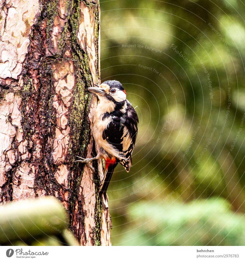 geräusch | spechtgeklopfe Vogel Specht Wald Baum Baumstamm Federn Schnabel Natur fliegen Fressen Tier Wildtier hübsch Tierporträt Tierschutz Flügel Nahaufnahme