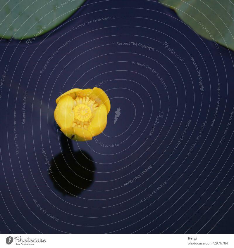 Blüte einer gelben Teichrose im stillen dunkelblauen Wasser mit Spiegelung Umwelt Natur Pflanze Sommer Schönes Wetter Blatt Teichmummel Park Blühend Wachstum