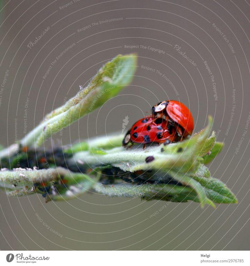 zwei Marienkäfer paaren sich auf grünen Blättern Umwelt Natur Pflanze Tier Blatt Käfer 2 Tierpaar Sex authentisch außergewöhnlich Zusammensein klein natürlich