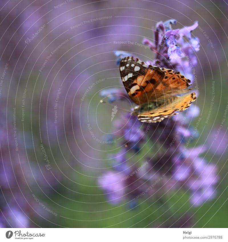 Distelfalter sitzt auf einer lila Büte Umwelt Natur Pflanze Tier Sommer Schönes Wetter Blume Blüte Garten Schmetterling 1 Blühend ästhetisch schön einzigartig