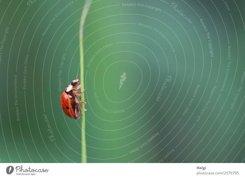 ein Marienkäfer krabbelt an einem dünnen Grashalm in die Höhe Umwelt Natur Pflanze Tier Sommer Halm Park Käfer 1 krabbeln ästhetisch klein natürlich grün rot