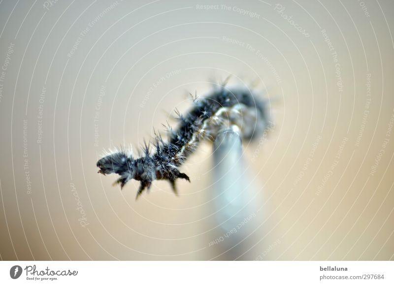 Godzilla Tier Wildtier Schmetterling Tiergesicht 1 Tierjunges krabbeln braun schwarz weiß Raupe Larve Pinsel Behaarung Farbfoto Gedeckte Farben Innenaufnahme