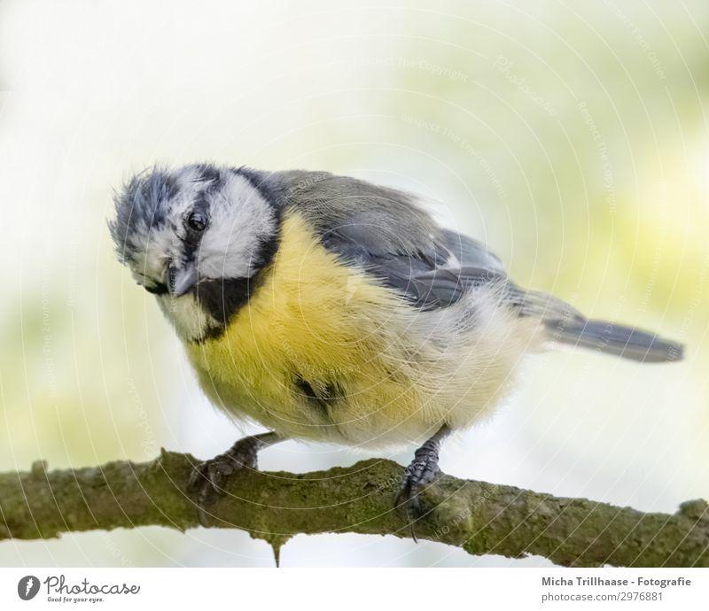Neugierig schauende Blaumeise Natur Tier Sonnenlicht Schönes Wetter Baum Zweige u. Äste Wildtier Vogel Tiergesicht Flügel Krallen Meisen Kopf Schnabel Auge