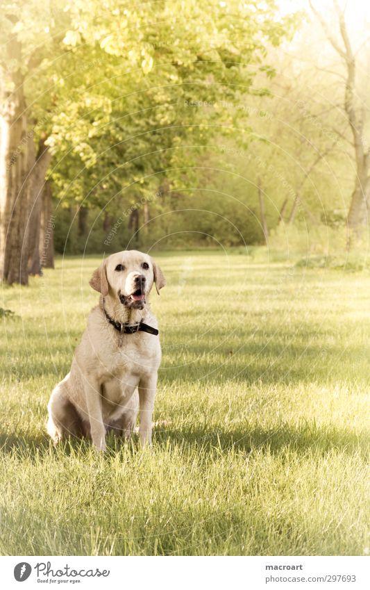 sommer Hund Natur grün schön Sommer Baum Tier Wiese Frühling blond warten süß Jahreszeiten Haustier Kastanienbaum Labrador