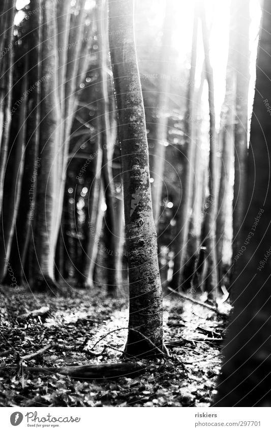 Märchenwald i Umwelt Natur Pflanze Sonne Sonnenaufgang Sonnenuntergang Sonnenlicht Frühling Herbst Schönes Wetter Baum Wald leuchten Gefühle Lebensfreude