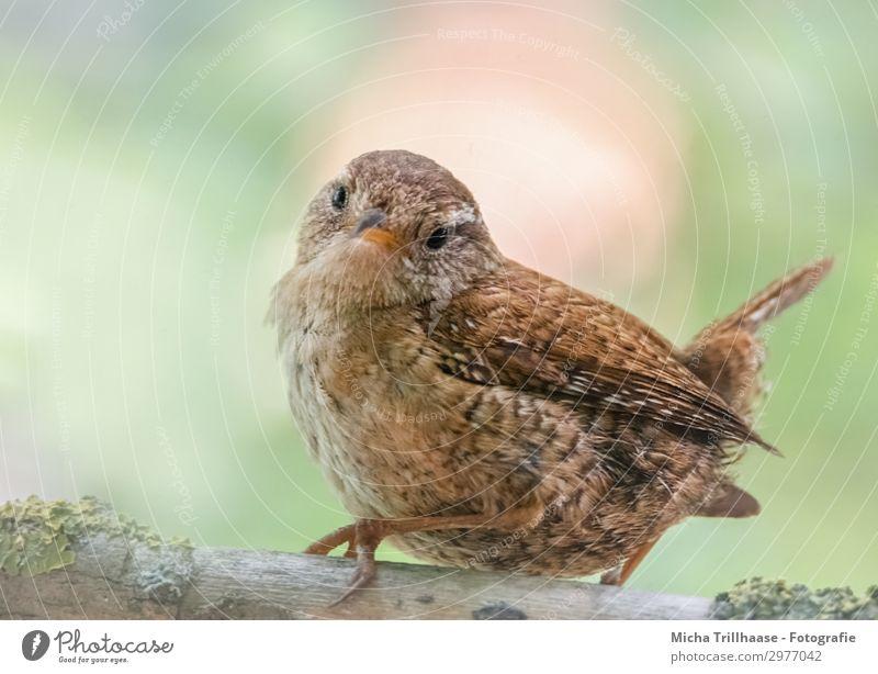 Zaunkönig sieht sich um Natur Tier Sonnenlicht Schönes Wetter Baum Zweige u. Äste Wildtier Vogel Tiergesicht Flügel Krallen Kopf Schnabel Auge Feder gefiedert 1